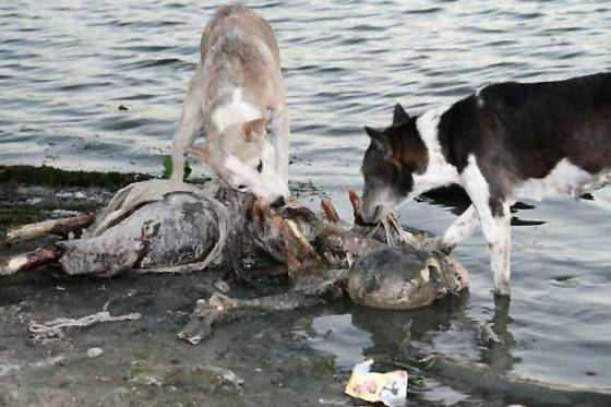 Stray dogs picking at rotting corpses in India.