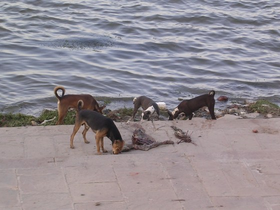 Stray or wild dogs eating a rotting human corpse.