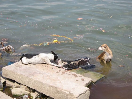 Wild dogs tearing at animal and human remains.