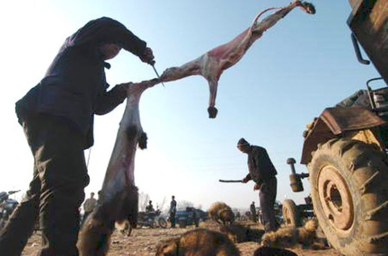 A raccoon is skinned alive in China by fur traders.