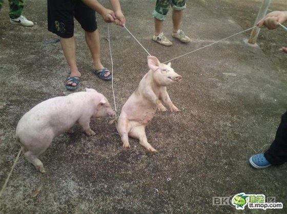 Pigs allegedly being abused in Nanning, China.