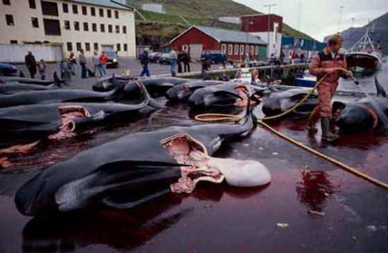 Pilot whale carcasses in the Faroe Islands of Denmark.