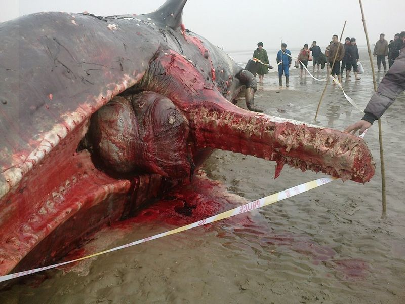 A dead whale that died after getting stranded on a beach in China.