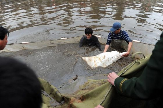 A wild Chinese white dolphin in a dirty Guangdong river attracted a crowd of thousands as conservation workers mounted a rescue operation.