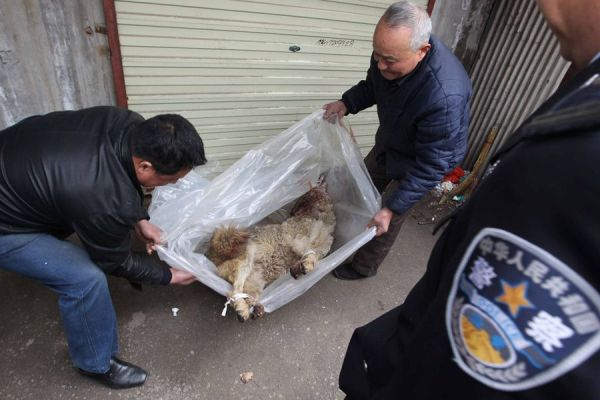 Police reveal the body of a dead grey wolf in a plastic bag that has been refrigerated.