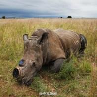 rhinoceros-horn-slaughter-trade-05