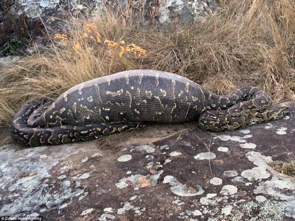 Giant_Anaconda_Dies_Eating_Porcupine,_Netizens_React