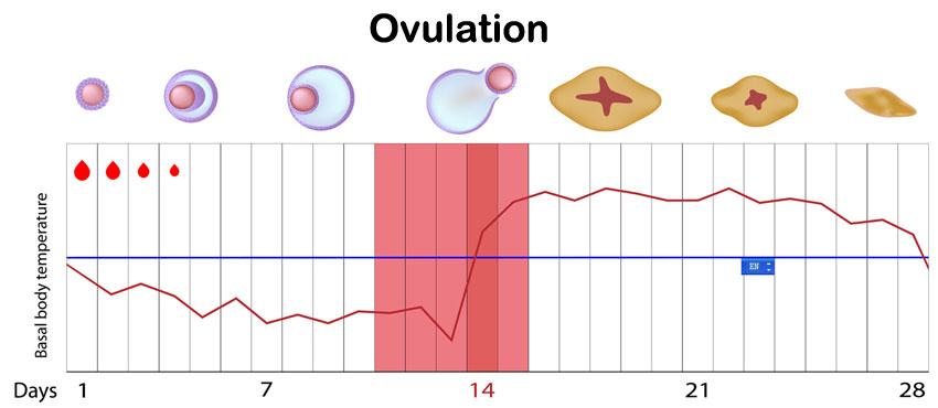 Ovulation Calculator Pregnancy Due Date