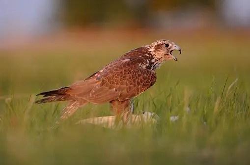 Ловен сокол (Saker falcon)