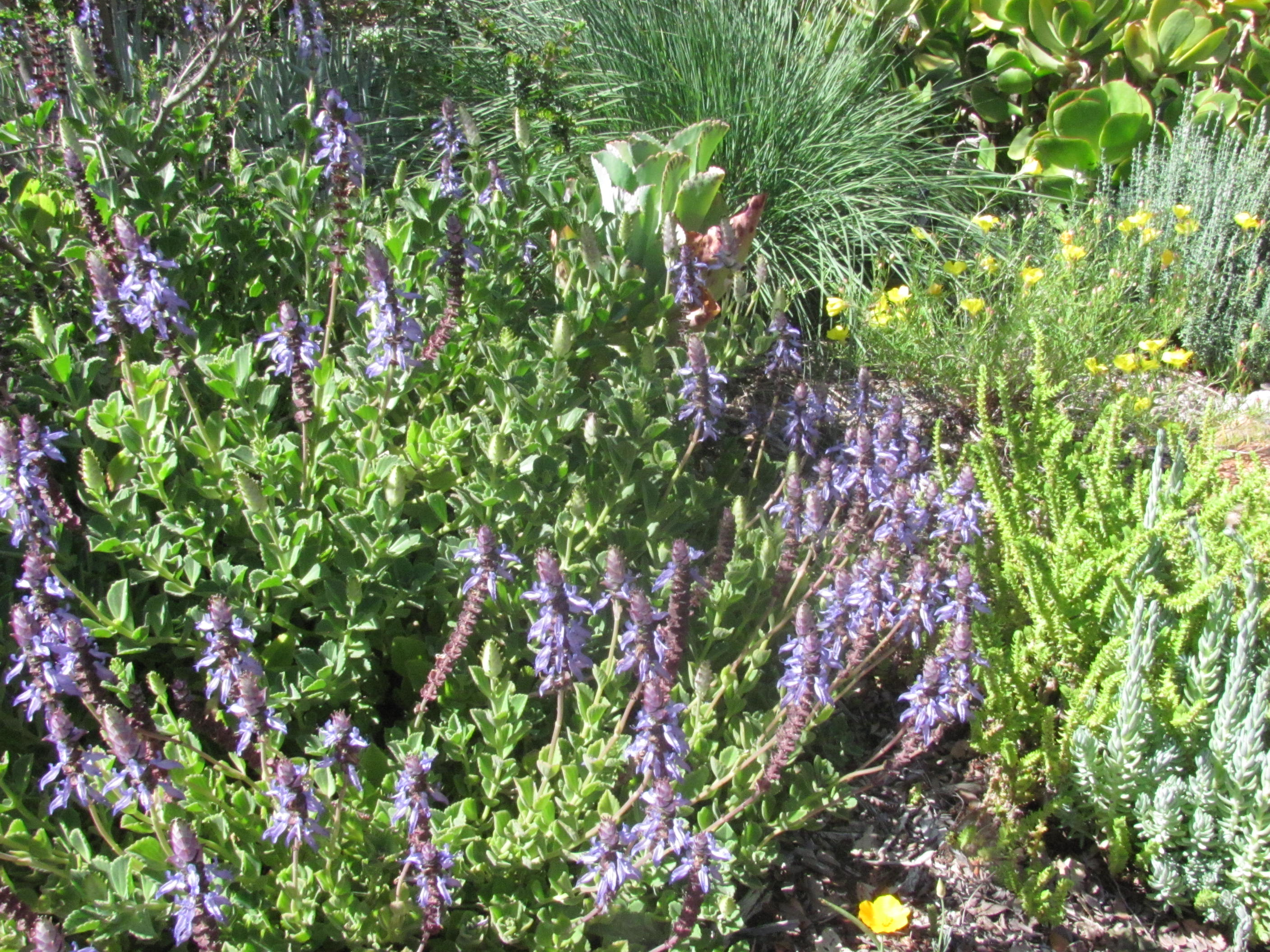 Drought tolerant plants the lobster flower another loveable perennial for the sustainable - Heat tolerant plants keeping gardens alive ...