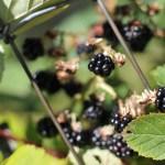Blackberries, Part III