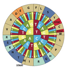 Codon Wheel for translating genetic code from ...