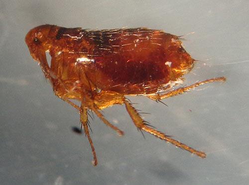 What Does A Flea Flea Egg And Flea Larva Look Like