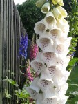 White Foxglove with Delphinium