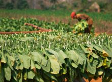 Picking and drying tobacco leaves