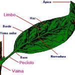 La Hoja (órgano vegetativo)
