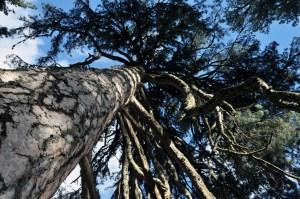 Parco nazionale della Sila, pino laricio