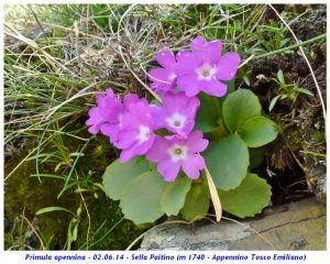 Parco nazionale dell'Appennino tosco-emiliano, primula appenninica