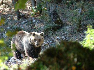 Parco nazionale d'Abruzzo, orso marsicano