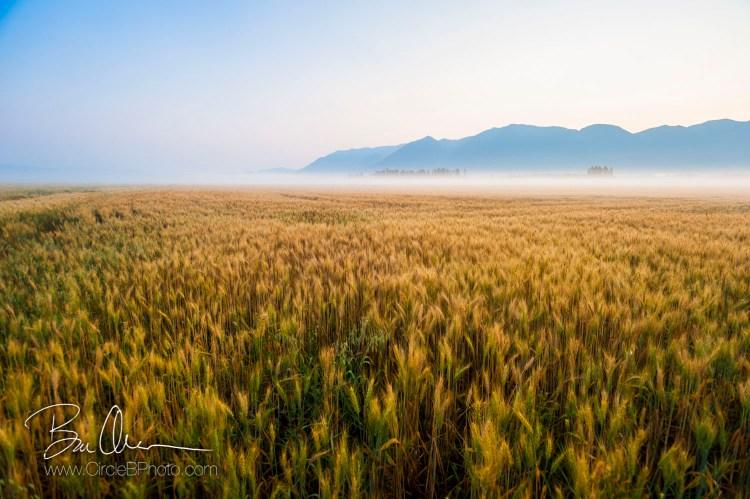 montanawheat