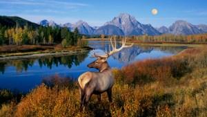 mountain rang, deer, America