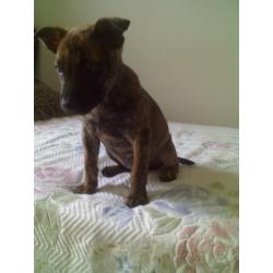 Small Crop Of Brindle Dog Breeds