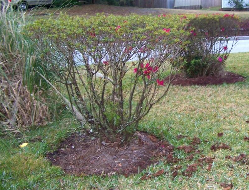 Large Of When To Prune Azaleas