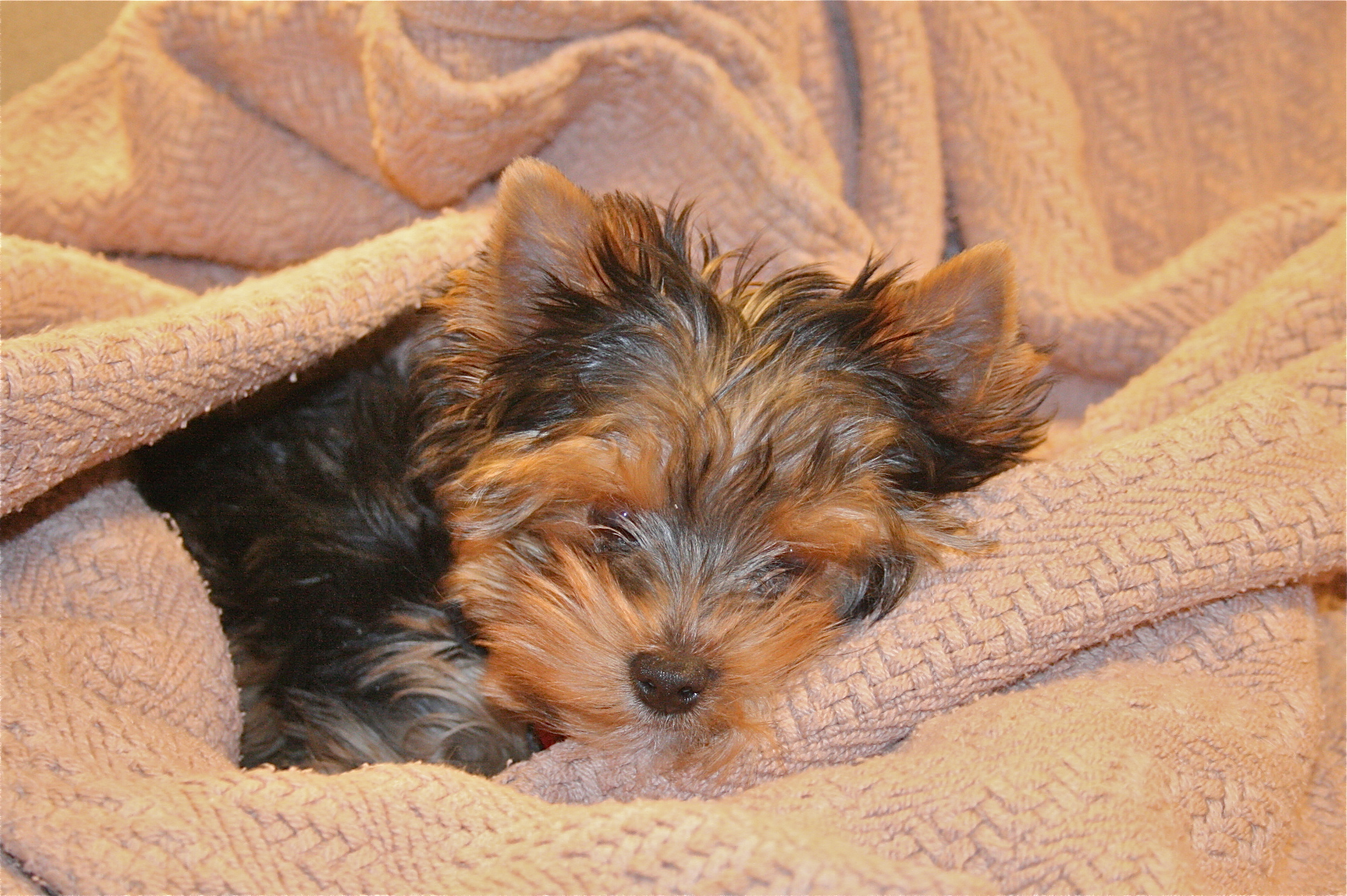 Dainty Dog Breeder Poodle Or Dog Breeder Poodle Or Yorkie Norrn Virginia Virginia Do Yorkies Shed A Lot Do Biewer Yorkies Shed bark post Do Yorkies Shed
