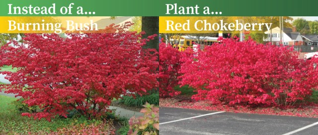 Instead of a Burning Bush, plant a Red Chokeberry. - Plant This, Not That - Keep Indianapolis Beautiful