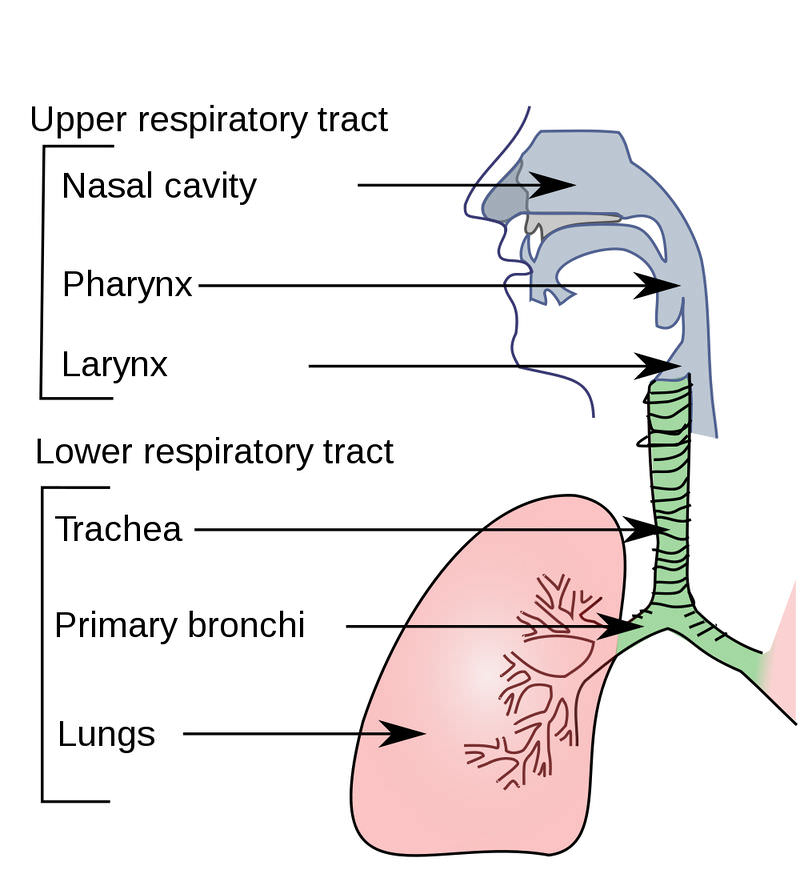 Respiratory System Organs CK-12 Foundation