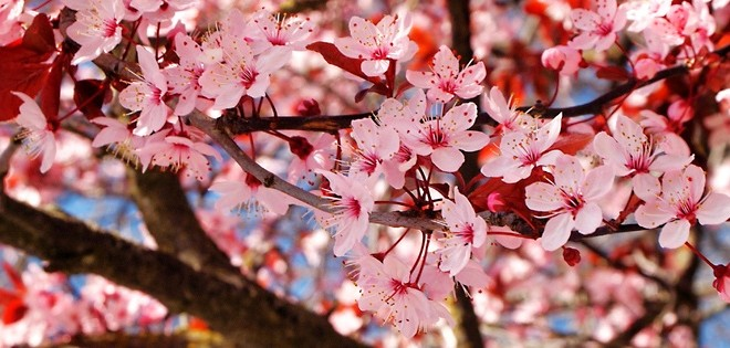 Fall New England Wallpaper View Vancouver S Cherry Blossoms Photo Gallery Claire