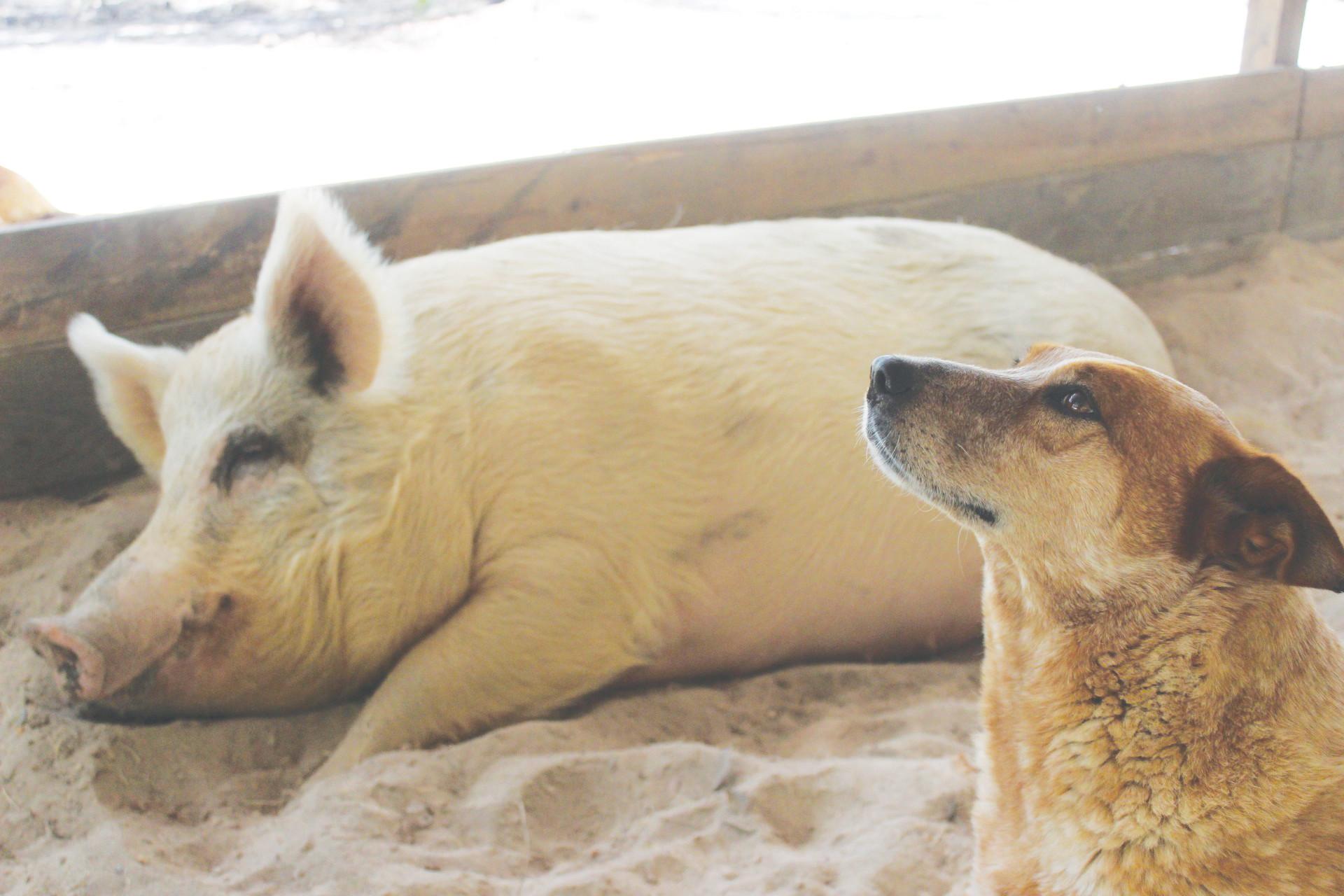 Fullsize Of Pig The Dog