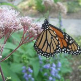 Planting for Pollinators: How Raingardens Can Help
