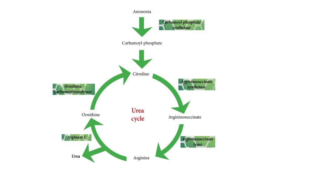 Urea cycle Clinisciences - urea cycle