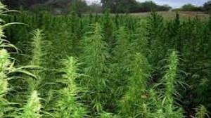 A Marijuana field