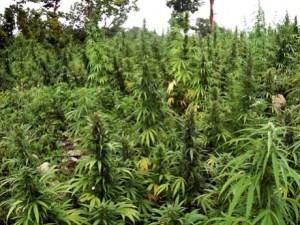 MarijuanaField2