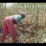 A Jamaican cane cutter working in the field