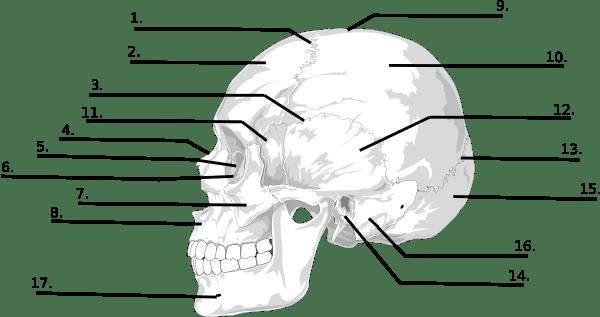label skull diagram
