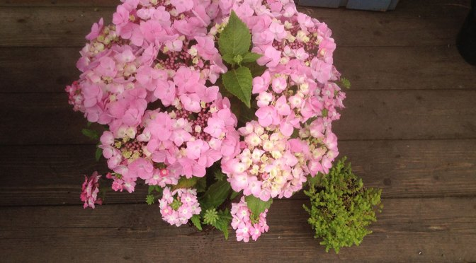 Hydrangea and Verbena in a beautiful pot mix.