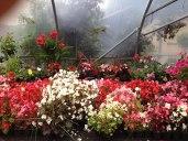 clonakilty-garden-begonia