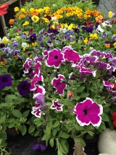 clonakilty-garden-petunia