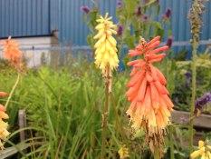 perennial flower westcork ireland11