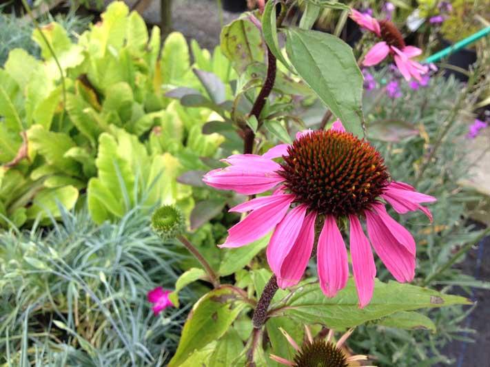 perennial flower westcork ireland12