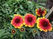 perennial flower westcork ireland6