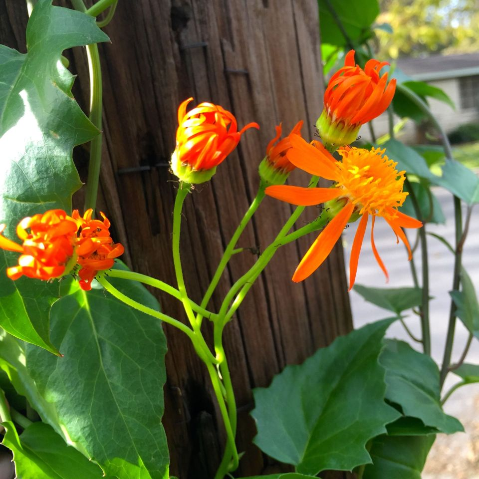Nifty Sale Mexican Flame Vine Poisonous Mexican Flame Vine I Cloverleaf Allotment Page Mexican Flame Vine Plants houzz-02 Mexican Flame Vine