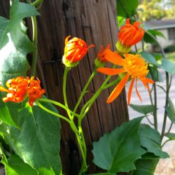 Small Of Mexican Flame Vine