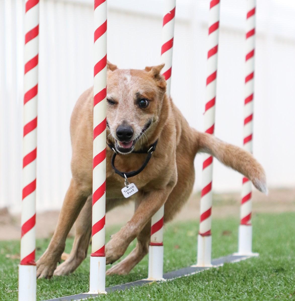 About Dog Agility Training