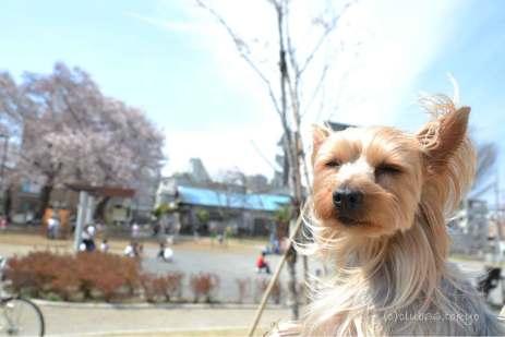 花より団子 ヨークシャーテリア 桜 春