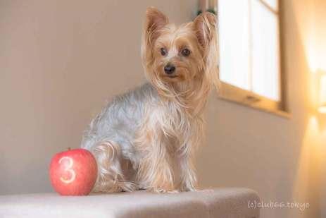 誕生日 ヨーキー ヨークシャーテリア 犬