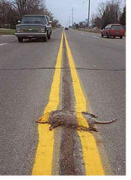 roadkill